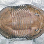 Isotelus maximus fossil, Upper Ordovician, Oldenburg, Indiana, USA (Wikimedia Commons) Modified by Callan Bentley