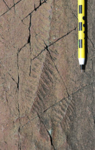 A photograph of a pair of fossil Fractofusus, both looking like feathers or flattened spindles. They are 4-12 cm in length.