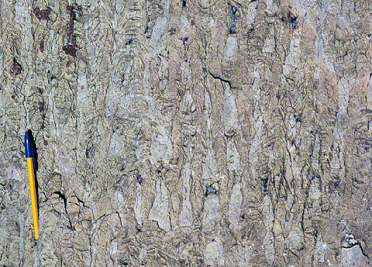 Photograph showing skinny columnar stromatolites in cap carbonate. A pen provides a sense of scale: each stromatolite is about 2 cm in diameter, but half a meter tall (at least!).