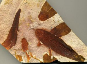 Glossopteris sp. leaves from the Permian of Australia.