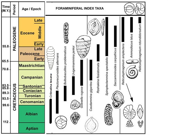 Select index foraminifera from the Cretaceous and Paleogene. For educational purposes from the Geologic Timescale Foundation, https://timescalefoundation.org/. Modified by Shelley Jaye.