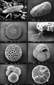 Various marine microfossils, inlcluding, from upper left to lower right, diatom, ostracod, radiolarian, sponge spicule, radiolarian, two planktonic foraminiferans, and a coccolith (Source: By Hannes Grobe/AWI - Own work, CC BY 3.0, https://commons.wikimedia.org/w/index.php?curid=8831075).