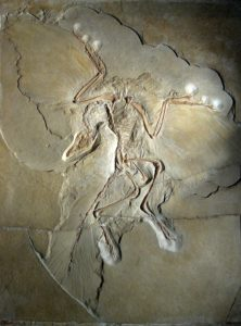 Fossil shows reptile bones and bird-like feathers.