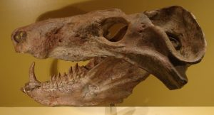 The skull is brown with large teeth.