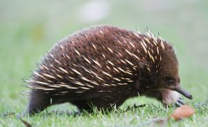 It is a small brown animal with spikes