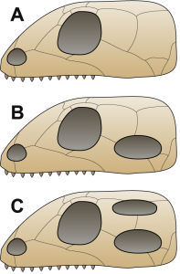 Anapsid skulls have no holes, synapsid skulls have one lower hole, diapsid skulls have two holes.