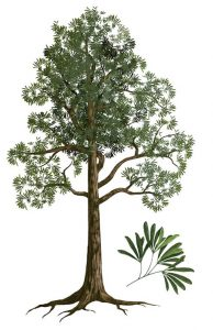 Artist's rendition of a Glossopteris tree (Public Domain).