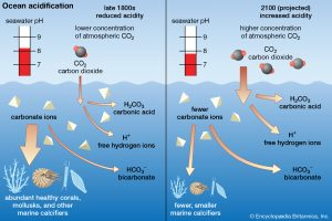 One effect of increasing carbon dioxide levels in the atmosphere is direct increase of carbon dioxide levels in the marine realm, as carbon dioxide emitted is concentrated first in the hydrosphere. Adding carbon dioxide to the ocean leads to a lowering of pH and dissociation of Ca+ and bicarbonate, making shell production more difficult to impossible, in extreme scenarios (Source: Brittanica Online)