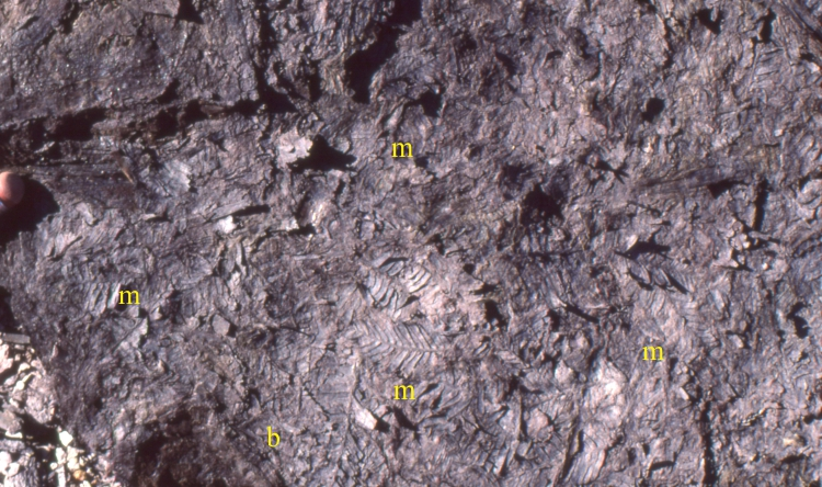 Metasequoia fronds in a fossil forest litter