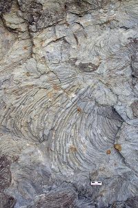 Zoophycos trace fossil