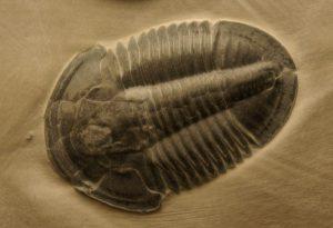 Cambrian trilobite