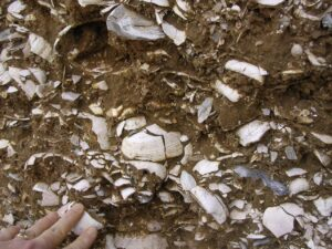Fossiliferous layers of the Yorktown Formation at Cobham Wharf, Virginia