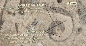 Annotated photograph showing a snail (gastropod) shell in cross-sectional view, filled on the bottom with limy mud and at the top with sparry calcite. The mud was deposited at the same time as the empty shell, partially filling it on the bottom of the empty space. The calcite spar was precipitated later by groundwater, filling the remaining open space at the top of the cavity.