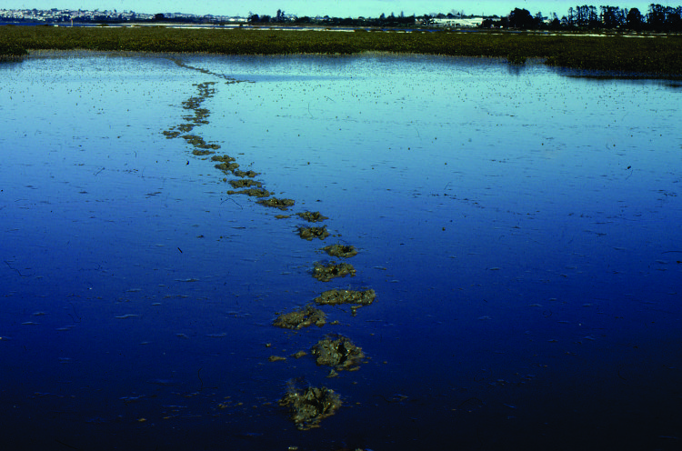 The tracks of a booted biped meandering across a tidal mud flat