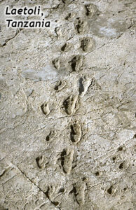 """Photograph of a gray ash layer, labeled """"Laetoli, Tanzania,"""" showing two sets of hominid footprints (one large, one small) side by side. There are 9 adult footprints on the right, and 9 child footprints on the left."""