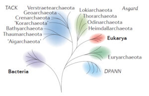 """A six-branched """"tree of life"""" showing the relationship between bacteria (first branch, least related to the other groups), several branches of archaea (four major branches, labelled respectively DPANN, Euryarcheota, TACK, and Asgard). The archeal clade called """"Asgard"""" is most closely related to eukaryotic host cells, and finally the Eukarya branch too. Asgard and Eukarya sit on two sub-branches of a common branch. In this rendition, Asgard archeans are much more closely related to Eukarya than they are to DPANN or Euryarchaeota archeal species."""