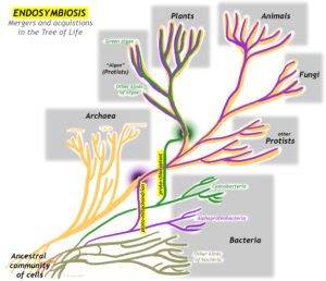 """A conceptual """"tree of life"""" diagram showing the two important mergers of mitochondria and chloroplasts. At lower left is a tangled web labeled """"Ancestral community of cells."""" Major branches to the right are labeled Archaea and Bacteria. Within the Bacteria are two distinct branches, one labeled """"Alphaproteobacteria"""" and the other labeled """"Cyanobacteria."""" Somewhere between the """"Ancestral community"""" and these two branches, a line jumps off of each, and merges with the Archeal line: the proto-mitochondrion from the ancestor of the alphaproteobacteria, and the proto-chloroplast from the ancestor of the cyanobacteria. All Eukaryotes (Protists, Fungi, Plants, Algae, and Animals) have this mitochondrial line superimposed on them. In addition, the plants and algae have the chloroplast line superimposed on them."""