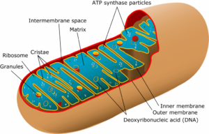 """Cartoon oblique view of a cross-sectioned mitochondrion. Overall pill-shaped (prolate ellipsoid) in shape, the upper left 2/6ths of the mitochondrion have been cut away to reveal its interior anatomy. Unlike the pill-like shape of the outer membrane, the inner membrane is wrinkled into """"fin"""" like features called cristae. These are studded with small spherical ribosomes. Larger sphere-like """"granules"""" and hula-hoop-shaped plasmids of DNA float in the interior of the inner membrane. ATP synthase particles are also indicated."""