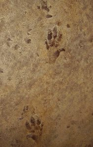 Tracks of an ancient 5-toed animal