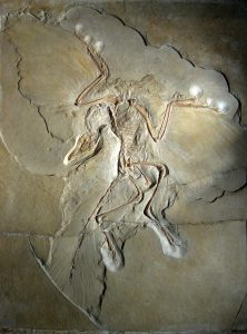 Image of the Archaeopteryx fossil that show features of both reptiles and birds. This is a famous transition fossil between reptiles and birds.