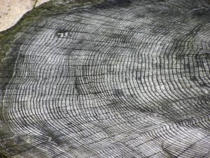 Shows a tree cut in cross-section with tree rings. Each ring form in one year.