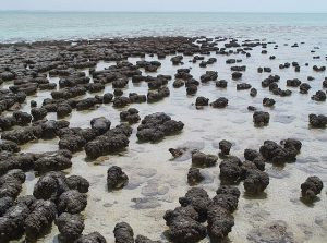 Picture of modern cyanobacteria (as stromatolites) in Shark Bay, Australia. The brown, blobby stromatolites are slightly sticking out of the shallow water of the ocean.