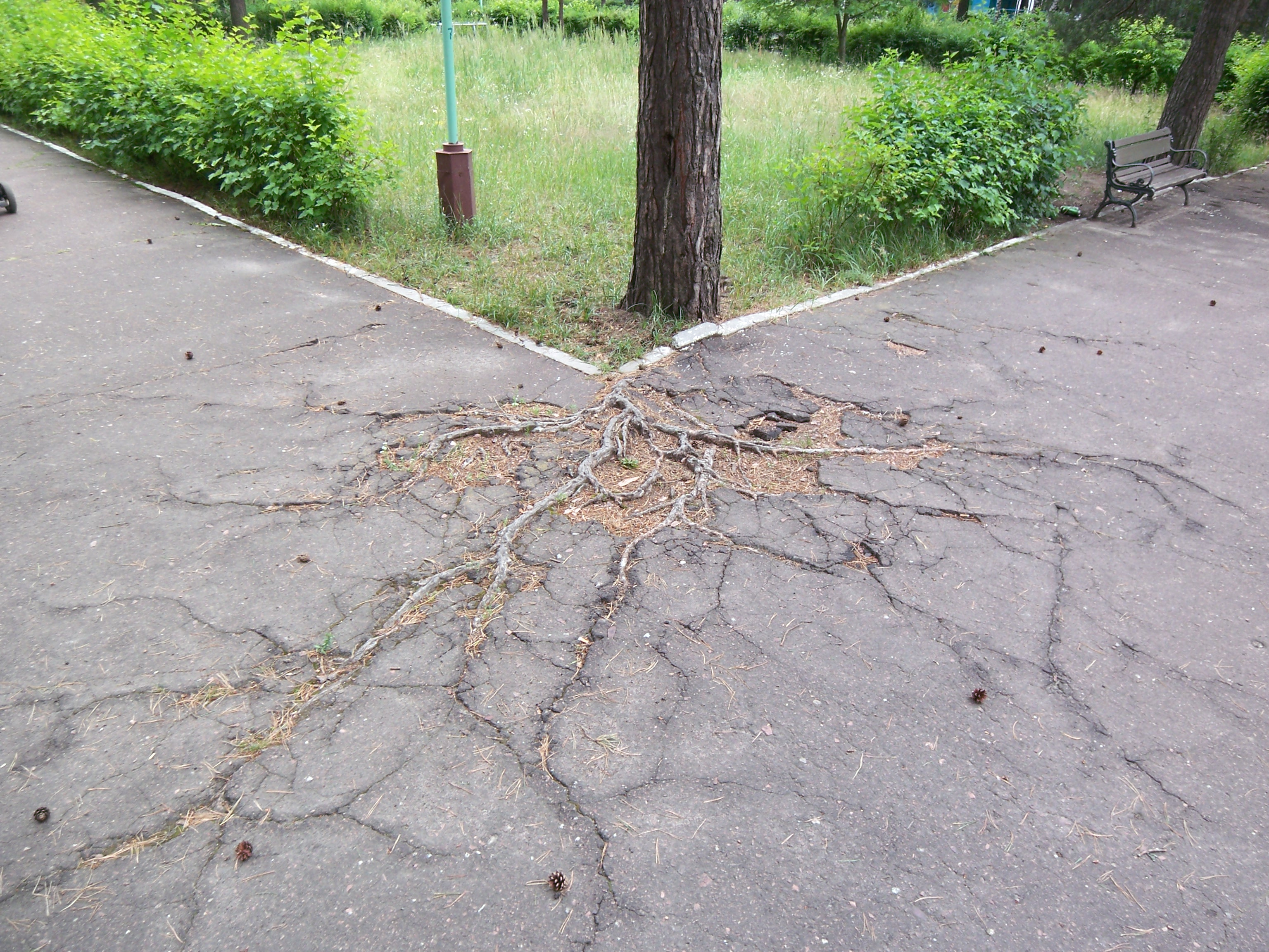 The roots of the tree are breaking up the asphalt.